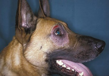 RIGHT SOLUTIONS FOR DERMATITIS TREATMENT IN DOGS