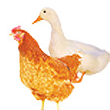 Products for Poultry